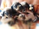 Alpski brak jazavičar štenci