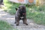 Kavkaski Ovčar – štenci