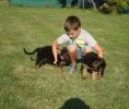 Nemački ovčar, štenad i mladi psi