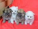 POMERANCI štenci na prodaju