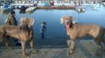 Vajmarski pticari - roditelji vrhunski psi