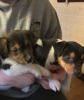 12 tjedana Jack Russel Puppies za usvajanje
