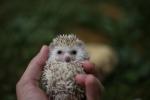 Afrički patuljasti ježevi