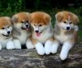 Akita Inu (Japanski Akita) vrhunski štenci