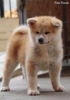 Akita Inu, štenci izložbenog potencijala