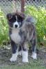 Akita inu štenci