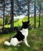Akita inu štene