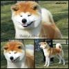 AKITA INU - vrhunski štenci