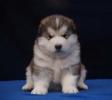 Aljaski Malamut, muški štenci