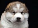 Aljaski Malamut, štenci