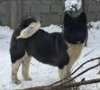 Američka Akita, kvalitetni štenci