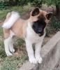Američka Akita, muško štene
