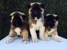 AMERICKA AKITA - roditelji sampionski psi