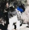 Američka Akita, štenci