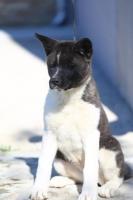 Američka Akita žensko štene