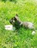 AMERIČKE AKITE - štenci oba pola, šampionskog porekla