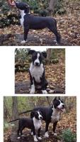 Američki staford terijer štenci