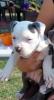 Američki stafordski terijer plavi štenci