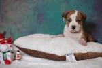 Američki stafordski terijer štenci