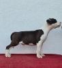 Američki stafordski terijer, štenci