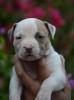 Američki stafordski terijer vrhunski štenci