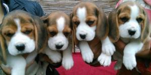 Beagle, izuzetni stenci