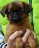 Belgijski Grifon Petit Brabancon štene