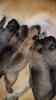 Belgijski ovčar - Malinoa, štenci