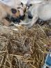 Belgijski ovčar malinoa