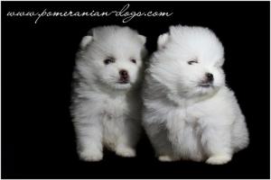 Beli štenci pomeranca