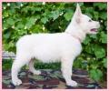 Beli švajcarski ovčar - izložbeni štenci