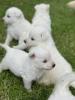 Beli Švajcarski ovčar, štenci