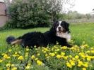 Bernski planinski pas, odrasli psi