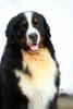 Bernski Planinski pas - slobodan za parenje