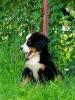 Bernski planinski pas štenci
