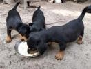 Bigl i nemački lovni terijer štenci na prodaju
