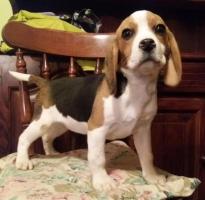 BIGL Snupi - engleski plemićki pas