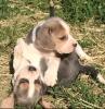 Bigl štenci plave boje