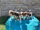 BIGL štenci šampionskog porekla