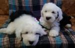 Bobtejl i čau čau štenci na prodaju