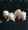 Bolonjezer, prelepi štenci