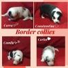 Border collie štenci