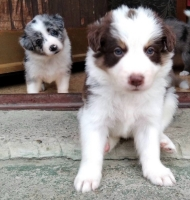 Border koli štenci na prodaju