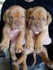 Bordoška doga, štenci