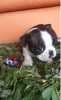 BOSTON TERIJER, štenci
