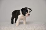 Bostonski terijer - štenci izuzetnog porekla