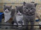 Britanski kratka kosa mačići