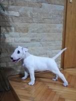 Bull terrier musko stene sampionskog porekla