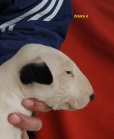 Bullterijer štenci