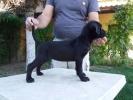 Cane Corso, crno štene